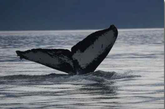 Sans Tourists, Juneau Scientists Partner to Capture Data on Humpback Whales