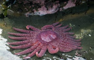 A healthy sunflower star, Pycnopodia helianthoides. This species was used in the recent study.Eric Chan/Flickr