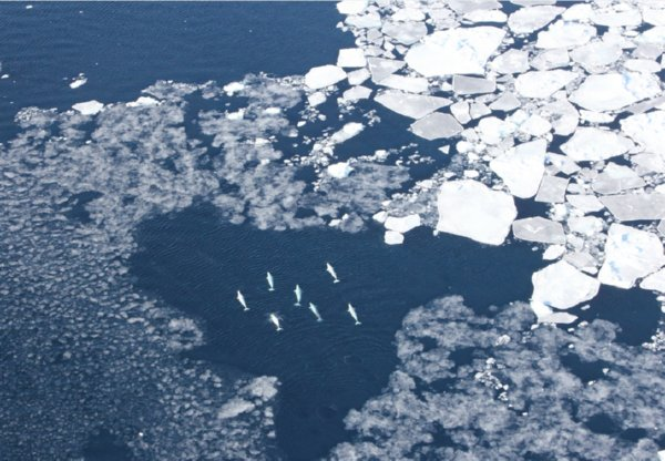 Belugas observed among sea ice.Kristin Laidre/University of Washington
