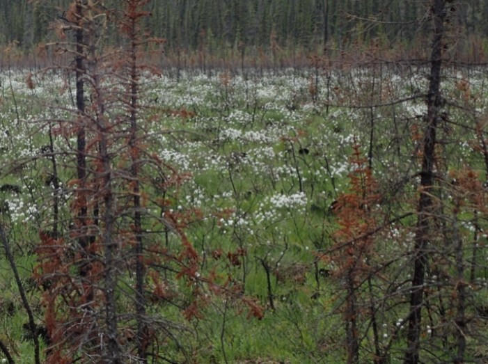 Fire Breaks Down and Builds up Boreal Forest