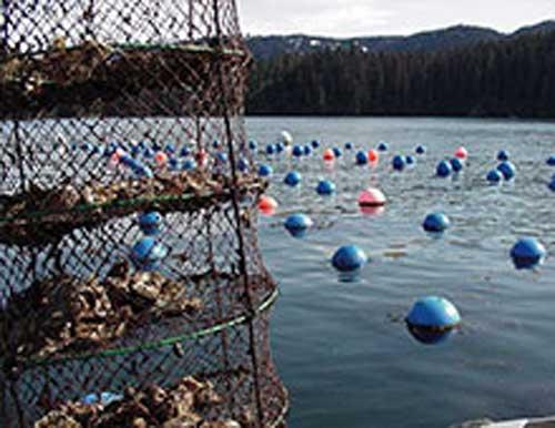 Alaska Legislation Votes to Help Grow Alaska's Mariculture Industry