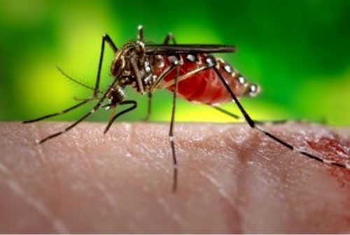 Flower or Flesh? Genetics Explain Mosquito Preference