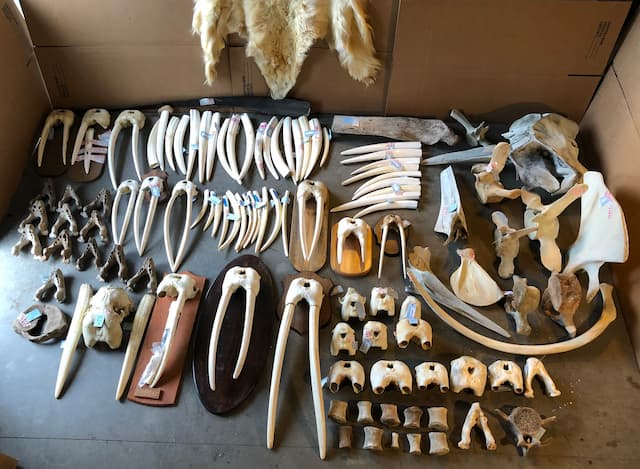 Anchorage Businessman Convicted and Sentenced for Walrus Ivory Trafficking and Tax Evasion
