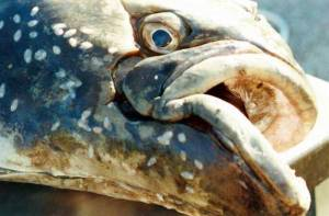 The face of an old halibut Image-.Andrea Pokrzywinski