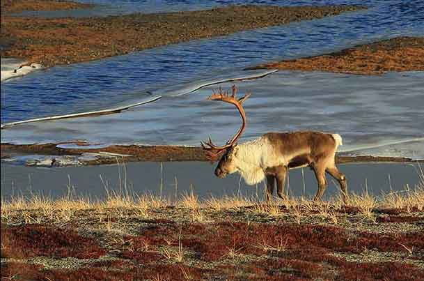 BLM Announces Winter Fortymile Federal Subsistence Caribou Hunt Dates and Harvest Limit