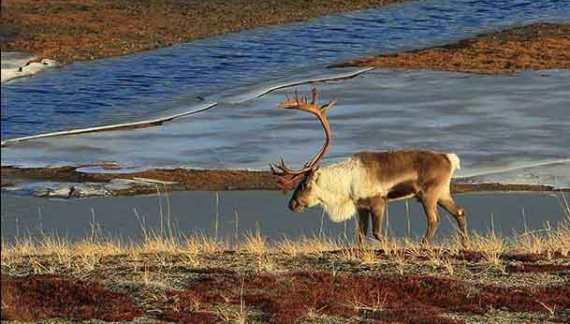 BLM to Open Fall Fortymile Caribou Federal Subsistence Hunt August 1