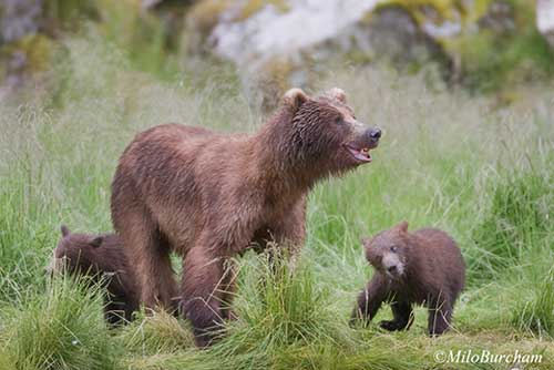 Food-Conditioned Deadhorse Grizzly Bear Killed, Cubs Captured