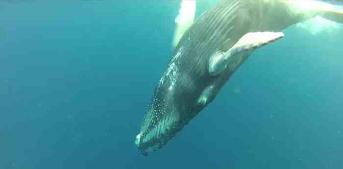 Successful Conservation Efforts Pay Off for Humpback Whales