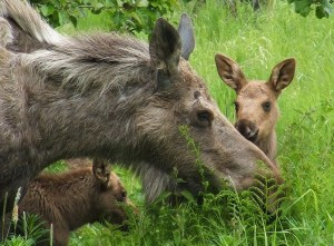 Cow Moose and calves in Homer. Image-ANN