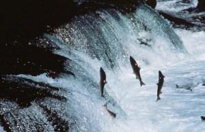 Salmon make their way up-river to spawn. Photo public domain