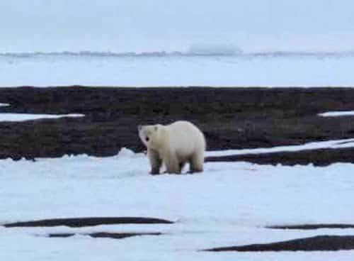 Polar Bears of the Past Survived Warmth