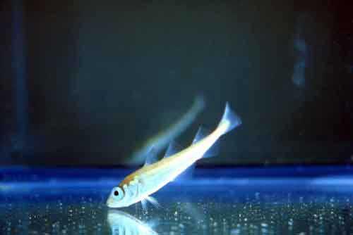 "Juvenile Alaska ""walleye"" pollock. Photo credit: NOAA Fisheries"