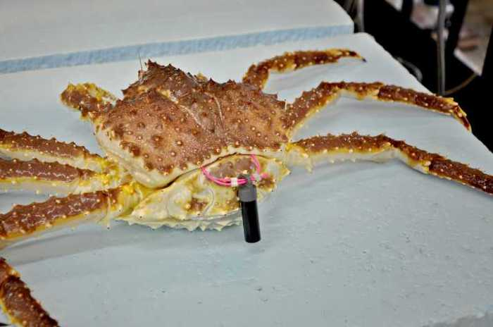 Norton Sound Winter Commercial Red King Crab Fishery in Limbo