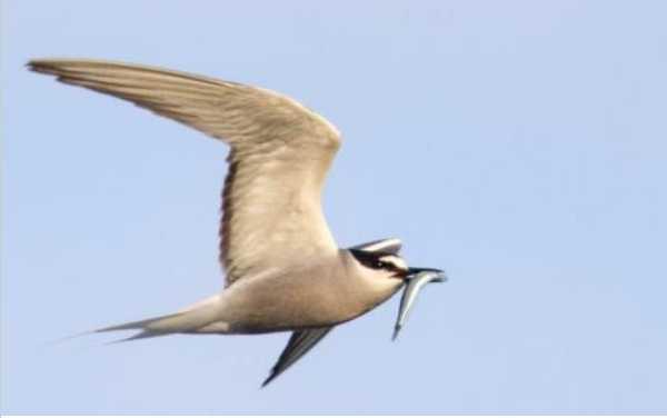 19 Aleutian Terns