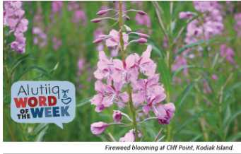 Fireweed-Alutiiq Word of the Week-August 4th