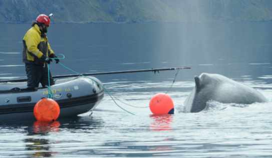 New Online Course for Spotting and Reporting Entangled Whales in Alaska Waters