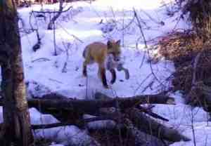A male Red Fox returns to the den with a Shoeshoe Hare. Photo-Ned Rozell