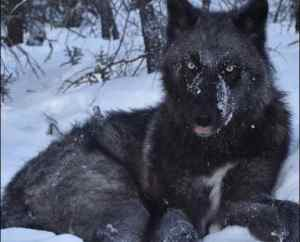 An Alaska wolf, one of which traveled 3,500 miles in one year. Image-Kyle Joly