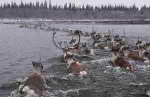 Caribou cross the Kobuk River in northwestern Alaska. Image-Kyle Joly