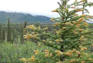 A White Spruce tree infected by spruce needle rust fungus, a cosmetic disease that does not kill the tree. Photo by Ned Rozell.