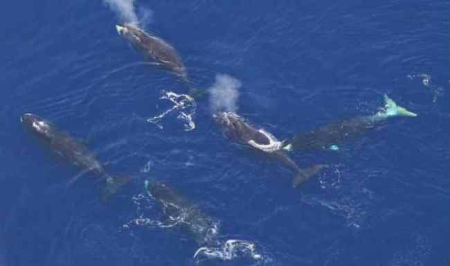 Bowhead whales. Photo Credit: NOAA Fisheries. Funded by the Bureau of Ocean Energy Management.