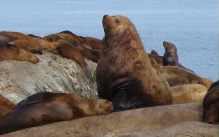 Steller Sea Lions and Mercury