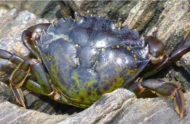 A European green crab. Credit: Emily Grason/Washington Sea Grant