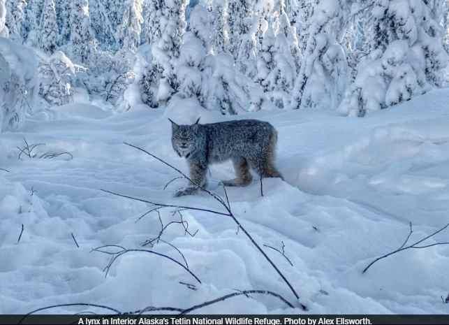 High time for lynx in Alaska's Interior