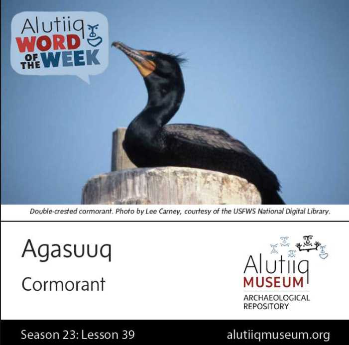 Cormorant-Alutiiq Word of the Week-March 21st