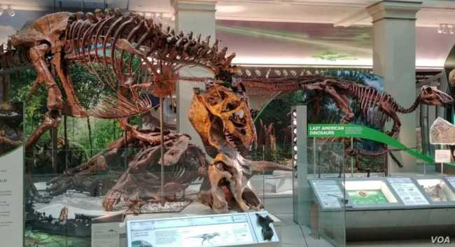 The skeleton of a Tyrannosaurus rex and other dinosaurs in the Deep Time exhibition in the Smithsonian National Museum of Natural History. (Deborah Block/VOA)