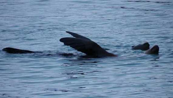 Is That Steller Sea Lion in Distress? Waving? Or Is It …Thermoregulation?