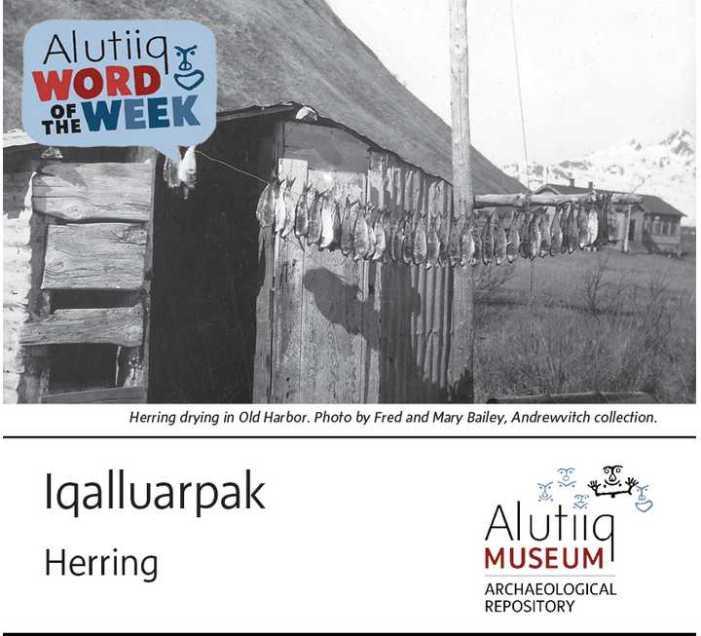 Herring-Alutiiq Word of the Week-May 16