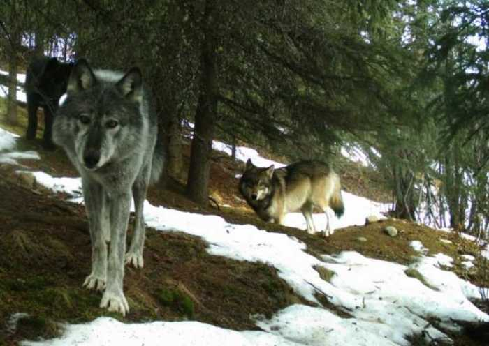 Wolf-virus study shows the virtue of space