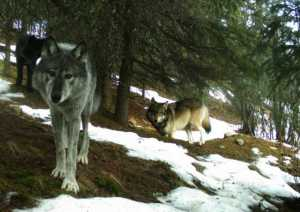 Wolves in the Denali National Park and Preserve. National Park Service Trail camera image.