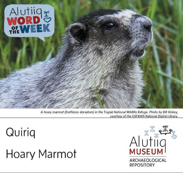 Hoary Marmot-Alutiiq Word of the Week-September 12th
