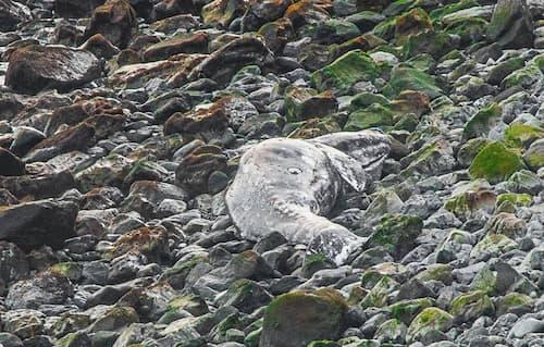 Dead Gray Whale Found on Kodiak Island, Alaska's Third