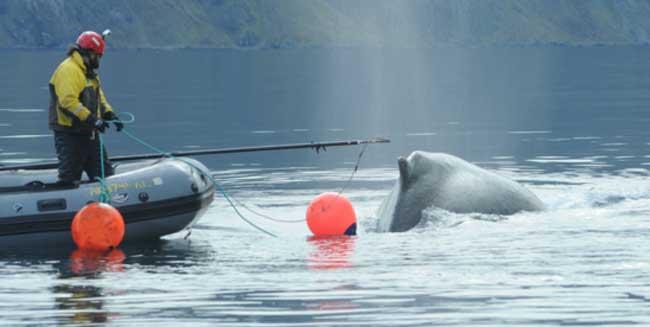 NOAA-Led Team Frees Entangled Whale near Dutch Harbor, Alaska