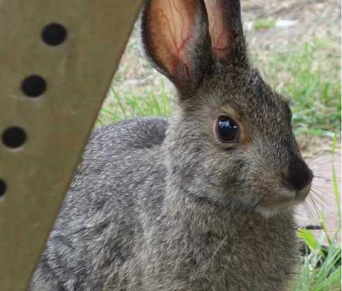 Northern Snowshoe Hares Eat Lots of Dirt
