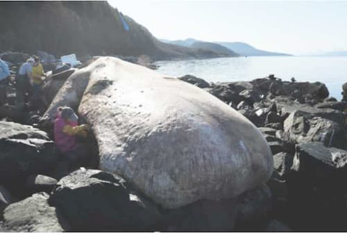 Alaska NOAA Team Examines Dead Endangered Sperm Whale