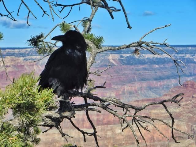Korppi, Grand Canyon
