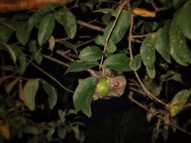 Ja Evelle kuva lepakosta syömässä limeä