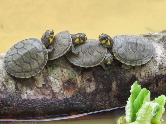 Viisisenttiset kilpikonnat läjässä