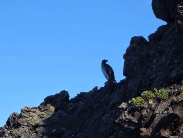Perunpigviinin tunnistaa pyylevämmästä olemuksesta ja vain yhdestä kaulajuovasta.