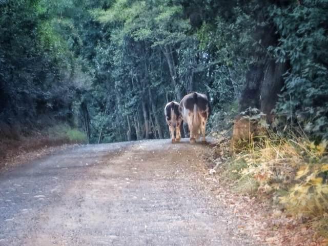 Lehmäperhe tien tukkona.