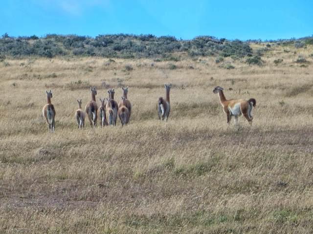 Tulimaan lakeuksilla vaeltelee suuret määrät guanacoja.