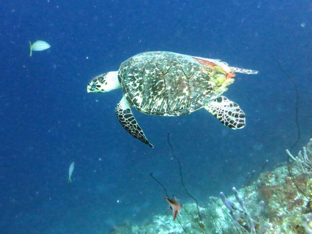 Green Turtle.