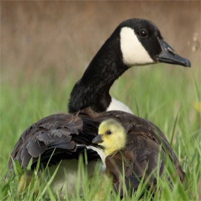 A goose and her child
