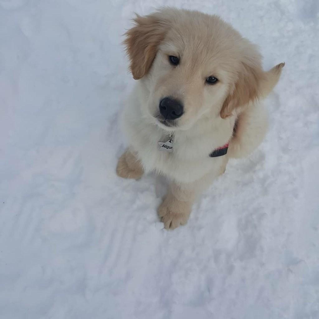 How To Train A Golden Retriever Alaska Dog Works
