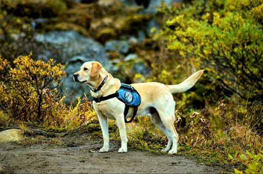Thorr Alaska Dog Works Service Dog