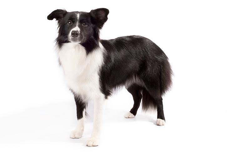 Border collie alaska dog works